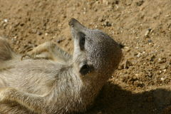 Meerkat waking up Royalty Free Stock Image