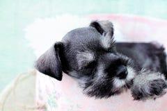 Sleeping Mini Schnauzer. Six week old salt and pepper Mini Schnauzer falling asleep inside of a pink hat box royalty free stock image