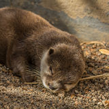 Sleeping mink. Across the big stones to climbs a mink Royalty Free Stock Photos