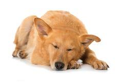 Sleeping mixed breed dog on white background. Brown mixed breed dog sleeping isolated on white background royalty free stock photography