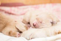 Sleeping white newborn puppy of golden retriever royalty free stock images