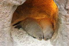 Sleeping mongoose Stock Photo