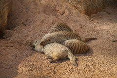 Sleeping Mongooses Stock Photos