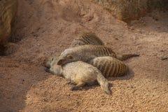 Sleeping Mongooses Stock Photos