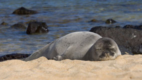 Sleeping Monk Seal Stock Image