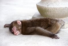Sleeping monkey. Tired monkey caught in a deep sleep Royalty Free Stock Photos