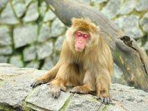 Sleeping monkey Royalty Free Stock Photo