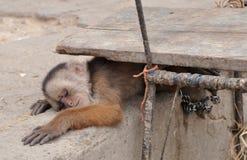 Sleeping Monkey Royalty Free Stock Photography