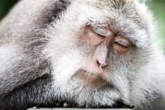 Sleeping monkey Stock Images