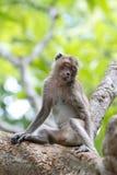 Sleeping monkey. On the tree, Khao Wang, Phetchaburi, Thailand Royalty Free Stock Photo