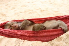 Sleeping monkey Royalty Free Stock Photo