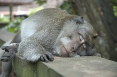 Sleeping monkey Stock Photo