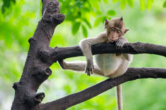 Sleeping Monkey Royalty Free Stock Image