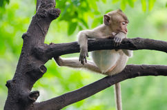 Sleeping monkey. Monkey enjoy sleeping on the tree in the afternoon with funny and lazy position at Ratchaburi, Thailand, Long-tailed macaque, Crab-eating Stock Photography