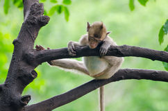 Sleeping monkey. Monkey enjoy sleeping on the tree in the afternoon with funny and lazy position at Ratchaburi, Thailand, Long-tailed macaque, Crab-eating Royalty Free Stock Photography