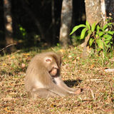 Sleeping monkey at Khao Yai national park Royalty Free Stock Images