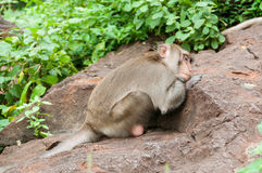 Sleeping monkey Royalty Free Stock Images