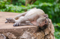 Sleeping monkey. Monkey sleeping on the stone table in the lazy afternoon with at Ratchaburi, Thailand, Long-tailed macaque, Crab-eating macaque Royalty Free Stock Image