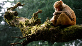 Sleeping monkey. Monkey sleeping on a tree stock photography