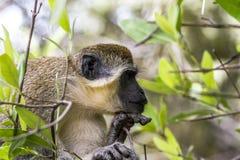 Sleeping monkey Stock Photography