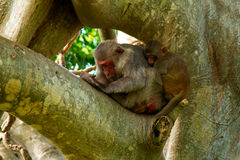 Sleeping Monkeys on the tree Stock Photos
