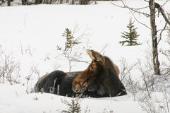Sleeping Moose Royalty Free Stock Photography