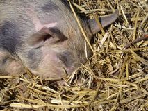 Sleeping mottled and pink piglet in the straw Royalty Free Stock Images