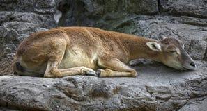 Sleeping moufflon female stock image
