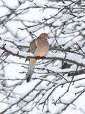 Sleeping Mourning Dove in Snow Stock Images