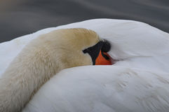 Sleeping mute Swan Stock Images