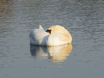 Sleeping Mute Swan Royalty Free Stock Photography