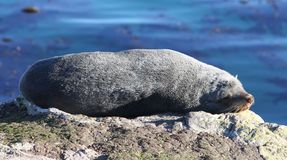 Sleeping New Zealand Fur Seal. The warm sunshine and a comfortable rock was too much for this sleepy New Zealand Fur Seal Stock Image