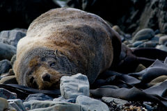 Sleeping New Zealand fur seal Royalty Free Stock Images