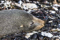 Sleeping New Zealand Fur Seal (Arctocephalus forsteri) Stock Images