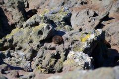 Sleeping New Zealand sea lion. New zealand young sea lion is sleeping on the cliffs. Fresh green grass Stock Photos