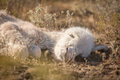 Sleeping newborn baby miniature donkey closeup stock photography