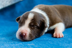 Sleeping newborn border collie Royalty Free Stock Images