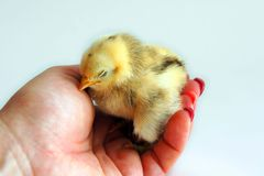 Sleeping newborn chick Stock Photo