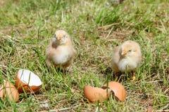 Sleeping newborn chickens around the shell. stock photo
