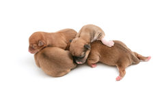 Sleeping newborn Chihuahua puppies. On white background Royalty Free Stock Images