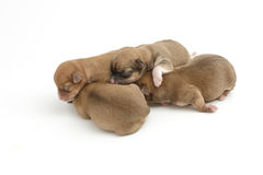 Sleeping newborn Chihuahua puppies. On white background Royalty Free Stock Photography