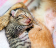 Sleeping newborn kitten Royalty Free Stock Photos