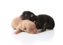 Sleeping Newborn Puppy Dogs Royalty Free Stock Photos
