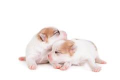Sleeping Newborn Puppy on White Royalty Free Stock Photos