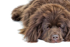 Sleeping Newfoundland terrier. A sleeping Newfoundland terrier on a white background Stock Photos