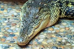Sleeping Nile crocodile or Crocodylus niloticus. Close up sleeping Nile crocodile or Crocodylus niloticus Stock Photo