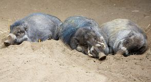 Sleeping North Sulawesi babirusa Stock Image