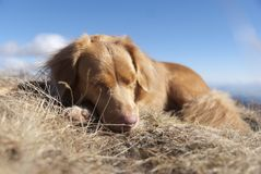 Sleeping NOVA SCOTIA RETRIEVER Stock Images