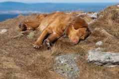 Sleeping Nova Scotia retriever Royalty Free Stock Image