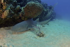 Sleeping Nurse Shark stock images